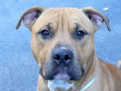 TO BE DESTROYED - 10/19/14 Manhattan Center   My name is MIEO. My Animal ID # is A1015967. I am a male tan and white am pit bull ter. The shelter thinks I am about 2 YEARS   I came in the shelter as a OWNER SUR on 10/01/2014 from NY 10011, owner surrender reason stated was NYCHA BAN.  https://www.facebook.com/Urgentdeathrowdogs/photos/a.611290788883804.1073741851.152876678058553/881527515193462/?type=3&theater
