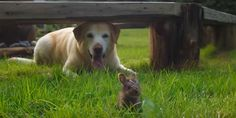 A yellow lab meets a tiny, wild baby bunny — and the results are simply too cute for words.