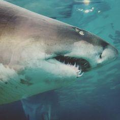 Dreaming of sharks. #raggie #sharks #ocean #capetown #followme