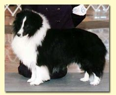 My grandparents always had a black & white sheltie named Sam. When one would get old & die, they'd get another & name it Sam. I think they had a total of four.