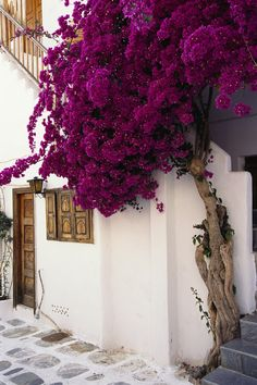 Boukamvilia tree in Mykonos http://georgiapapadon.com/
