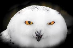 Snowy Owl - Snowy Owl