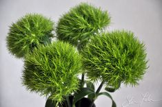 green dianthus - secondary flowers