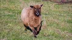 Romney Sheep, Goats, Stones, Birds, Rocks, Bird, Goat, Rock