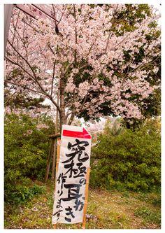 344:「この日は天気が悪く、鳥の囀りが聞こえてきたので、桜と鳥のツーショットを狙ったのですが、撮れたのがこの写真でした。<(_ _)>」@郡山城址公園