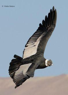male condor. Vultur gryphus