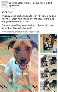 3/31/17 NYCACC SURVIVOR ROCKY AKA ROCCO IS AVAILABLE AT LOOKING GLASS ANIMAL RESCUE❤️ HE'S GEORGEOUS! /ij https://m.facebook.com/story.php?story_fbid=1806632256323320&id=1565473593772522&__tn__=%2As