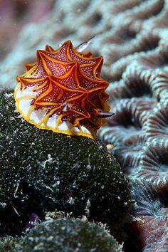 Halgerda Tessellata 鑲嵌盤海蛞蝓 by California!, via Flickr