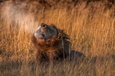 Territorial male lion calling on a cold winters morning at Chitabe camp in the Okavango delta of Botswana Okavango Delta, Male Lion, Camps, Brown Bear, Big Cats, Wilderness, Safari, Wildlife, Cold