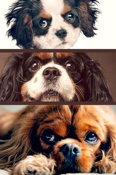 """The Cavalier King Charles Spaniel is small, loving and lively. The typical Cavalier is constantly delighted, trusting and relaxed, a good friend to everyone he meets. Real to their heritage as """"comforter pet dogs,"""" Cavaliers enjoy to be in a lap. What You Must Know About Dogs Getting a dog is among one of life's joys, but that isn't the way it is with every dog. To get the quite often spent together with the dog, keep certain things under consideration. You ought to go ov Cavalier King Charles Dog, King Charles Spaniel, Pet Dogs, Pets, England And Scotland, Best Friends, Hilarious, Animals, Beat Friends"""