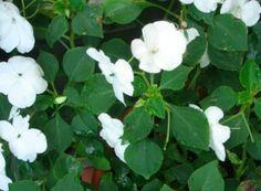 Flittiglise trives i skygge og er derfor god ved hoveddøren i nord. Hvide blomster lyser op i skyggen.