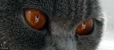 STARFALL*LT | British Shorthair Cattery | https://starfall.lt/ |