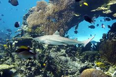 Swimming with sharks in the Great Barrier Reef in Australia - I cant wait!!