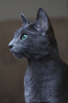 42 Best Blue Russian Cat images in 2016 | Russian blue, Blue
