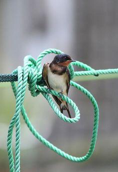 Barn swallow | Flickr