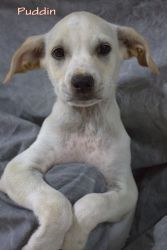 Puddin is an adoptable Australian Cattle Dog (Blue Heeler) Dog in Clermont, FL. You can visit this Adorable Adoptable at our no-kill Adoption Center, located at 4648 Baptist Island Road, Groveland, FL...