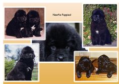 Pouch Cove Newfie puppies!