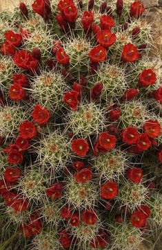 Cacti in bloom...