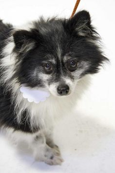 Moxie is about 7 years old and 8 pounds #Pomeranian girl.  Moxie does very well with other #dogs and enjoys cuddling up next to them especially on dog beds/soft blankets. She is learning what fun toys are. Will you be the one to show her what a Loving Wonderful Forever Home is? http://www.doggielife.com/moxie/dogs/N881PD