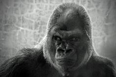 Serious Silverback by Barbara Motter