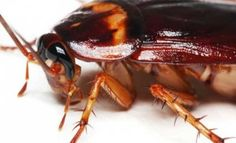 Did you know a cockroach can live for up to one week without its head? Find more facts about cockroaches and other information for kids in our pest guide. Termite Control, Pest Control, Hiroshima E Nagasaki, German Cockroach, Termite Inspection, Asthma Symptoms, Pest Management, Facts For Kids