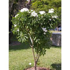 Jasmim do Caribe - Plumeria pudica Plumeria Pudica, Indoor Trees, Indoor Plants, Garden Renovation Ideas, Identify Plant, Landscaping Plants, Flowering Trees, Plant Design, Exterior Design