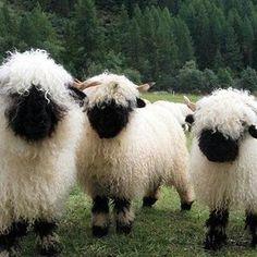 Valais Blacknose Sheep from Switzerland!