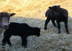Baby lambs / http://amazinggrazefarm.com/did-it-happen-today/  One of our ewes had a black lamb once----sooooo cute!