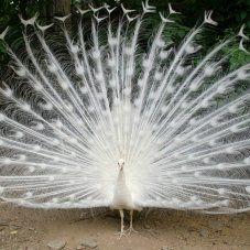White Peafowl - White Peafowl Simply majestic, dazzling, and unique. This type of peafowl offers white feathering throughout with elegant, lacy tail feathers. Avatar World, Albinism, White Peacock, Peafowl, Bird Tree, Abstract Animals, Baby Chicks, Belle Photo, Animals Beautiful