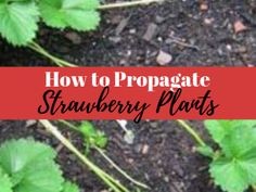 How to Propagate Strawberry Plants from Runners - Strawberry Plant Care, Strawberry Planters, Strawberry Patch, Strawberry Companion Plants, Chives Plant, Plant Based Protein Powder, Strawberry Fields Forever, Bountiful Harvest, Strawberries