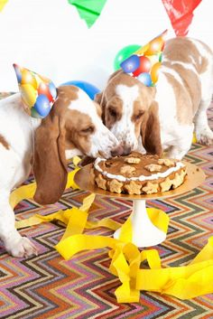 basset hound eating cake