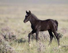 Wild Black Foal Walks  -Fine Art Wild Horse by WildHoofbeats,(Carol Walker) $35.00 etsy.  ..A wild black foal walks in the McCulough Peaks Herd Area of Wyoming.