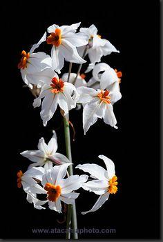 Flower the Atacama Desert, Cebollin (Leucocoryne coronata)