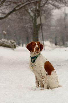 French Brittany Spaniel Information http://tipsfordogs.info/90dogtrainingtips/