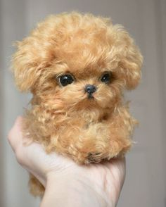 Oh my gosh how darling! Teacup Poodle Puppies, Tea Cup Poodle, Kittens And Puppies, Baby Kittens, Cute Puppies, Cute Dogs, Baby Animals Pictures, Puppy Pictures, Animals And Pets