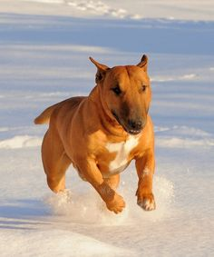 Awesome #Bull #Terrier