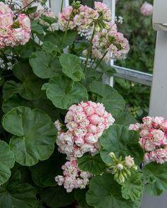 Ytterligare en bild från Elins trädgård (@tradgardstid). Den ljuvliga pelargonen 'Apple blossom'. Ha en skön kväll! 🇬🇧One more photo from Elin's garden (@tradgardstid ). It is the lovley Geranium 'Apple Blossom'. - - #haveglæde #havedesign #trädgårdsdesign #trägårdsinspiration #hageglede #pelargoner #geranium Geraniums, Beautiful Gardens, Floral Wreath, Wreaths, Is, Plants, Instagram, Gardening, Spaces