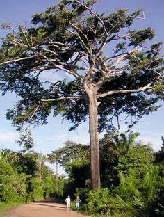 Bacuri (Platonia insignis Mart, Clusiaceae (Guttiferae)) Origem: Região amazônica, Nordeste do Brasil e Norte da América do Sul