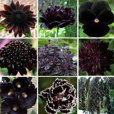 Almost Black Naturally Dark Monochromatic Flowers Seed Collection – 9 Varieties – Black Flowers Gothic Flowers, Dark Flowers, Unusual Flowers, Beautiful Flowers, Beautiful Pictures, Flower Seeds, Flower Pots, Cactus Flower, Flower Diy
