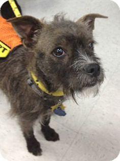 Rockaway, NJ - Brussels Griffon/Standard Schnauzer Mix. Meet Princess, a dog for adoption. http://www.adoptapet.com/pet/10913334-rockaway-new-jersey-brussels-griffon-mix