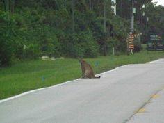 A rare Florida panther sighting captured on camera.