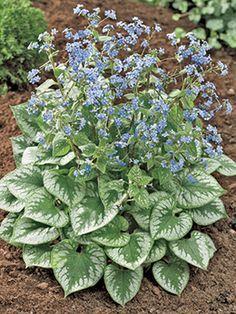 """Emerald Mist"" Brunnera. Shady plant"