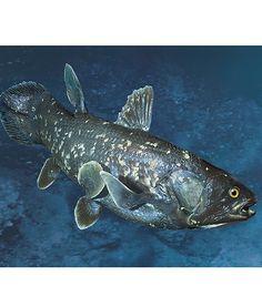 Coelacanth- Latimeria chalumnae