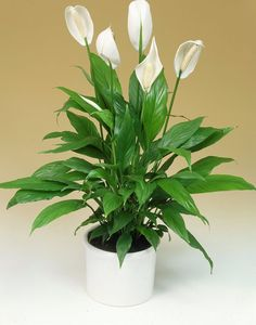 10 shade plants for the darkest corners at home - Garden Design Ideas Lilly Plants, Shadow Plants, Interior Design Plants, Decoration Plante, Inside Plants, Peace Lily, Plant Identification, Home Garden Design, Bathroom Plants