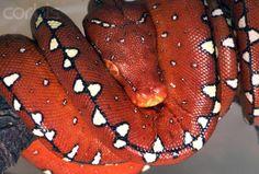 Red Baby Green Tree Python