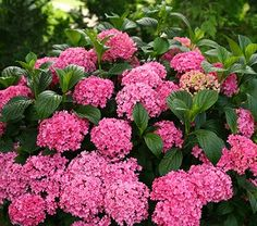 "Hydrangea macrophylla Paraplu Common Name: Hydrangea Hardiness Zone: 5-9 S / 5-9 W Height: 30""+ Exposure: Full or Part Sun Blooms In: June-Aug Spacing: 30-36"""