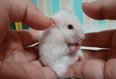Cute and funny pictures about mice and hamsters talk. Cute Funny Animals, Funny Cute, Hilarious, Teddy Hamster, Hamster Pics, Hamster Care, Funny Videos, Funny Gifs, Funny Faces