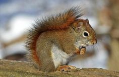 Chatterer is the red squirrel character in the popular and classic books written by Thornton W.g The Adventures of Chatterer the Red Squirrel Squirrel Video, Flying Squirrel, Red Squirrel, Lion Tapestry, Squirrel Appreciation Day, Squirrel Pictures, Images Of Squirrels, Secret Squirrel, Rodents