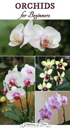 Orchids for Beginners shares tips from a lifelong grower to have these beautiful flowering plants in your home. Orchids for Beginners shares tips from a lifelong grower to have these beautiful flowering plants in your home. House Plant Care, House Plants, Gardening For Beginners, Gardening Tips, Indoor Gardening, Floristry For Beginners, Vegetable Gardening, Organic Gardening, Orchid Roots