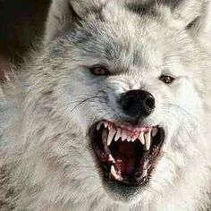 Perhaps Leandra's favourite illusion is that of a large, angry wolf. Wolf Images, Wolf Photos, Wolf Pictures, Wolf Love, Beautiful Wolves, Animals Beautiful, Tier Wolf, Wolf Hybrid, Angry Wolf